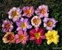 Select Mixed Daylilies 2